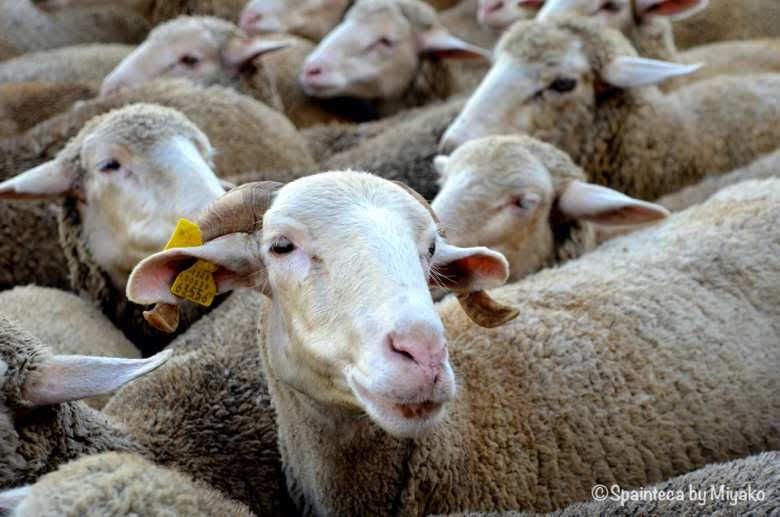 Fiesta de la Trashumancia Madrid  移動放牧中のメリナ種の羊の群