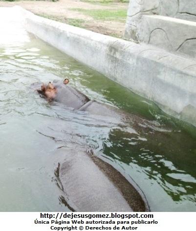 Foto de hipopótamos dentro del agua en el Parque de las Leyendas. Foto de hipopótamos de Jesus Gómez