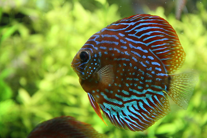 Discus | Fish Info and...