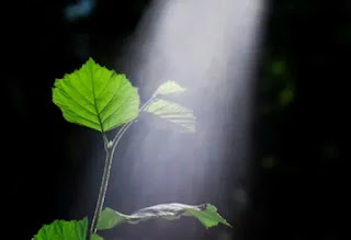 Fotosintesisadalah proses yang digunakan oleh tanaman, ganggang dan bakteri tertentu untuk memanfaatkan energi dari sinar matahari dan mengubahnya menjadi energi kimia...Proses terjadinya fotosintesis pada tumbuhan dibagi menjadi dua yaitu: proses fotosintesis yang membutuhkan sinar matahari dan fotosintesis yang tidak membutuhkan sinar matahari. Kedua jenis proses ini berlangsung dalam kloroplas: reaksi bergantung cahaya pada tilakoid dan reaksi bebas-cahaya dalam stroma.
