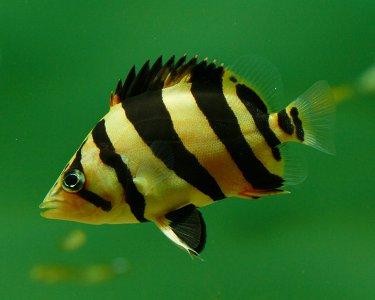 JOE'S AQUAWORLD FOR EXOTIC FISHES MUMBAI INDIA 9833898901: aquarium fish mumbai tiger datnoide ...