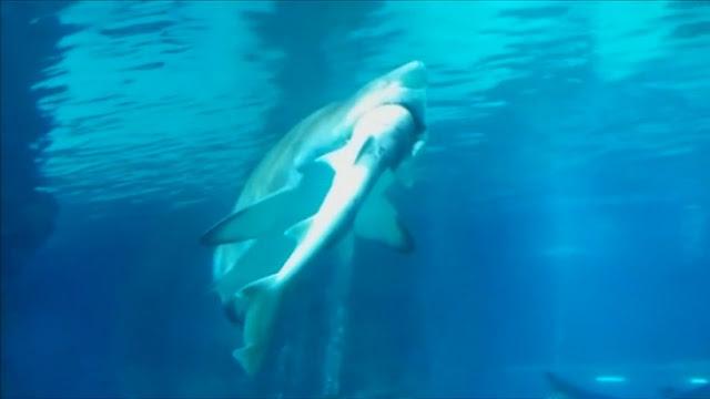 Un tiburón tigre se comió a otro de la forma más brutal en un acuario de Seúl