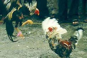 Ayam Adalah Permainan Adu Ayam Dalam Arena Biasanya Ayam Yang Di