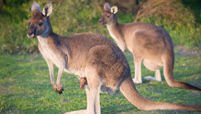 El Canguro Australia