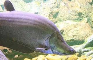 ikan belida punah, fakta unik, penyebab