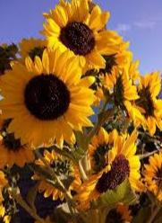 98 Gambar Taman Bunga Matahari Kartun Terbaru Cikimm Com