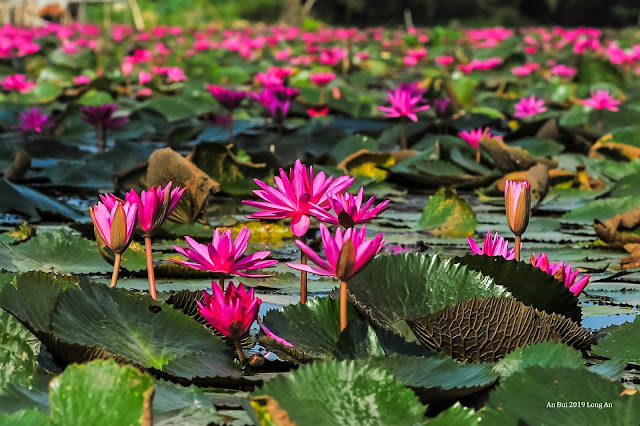 The blossom season of Water Lily Flower in Vietnam