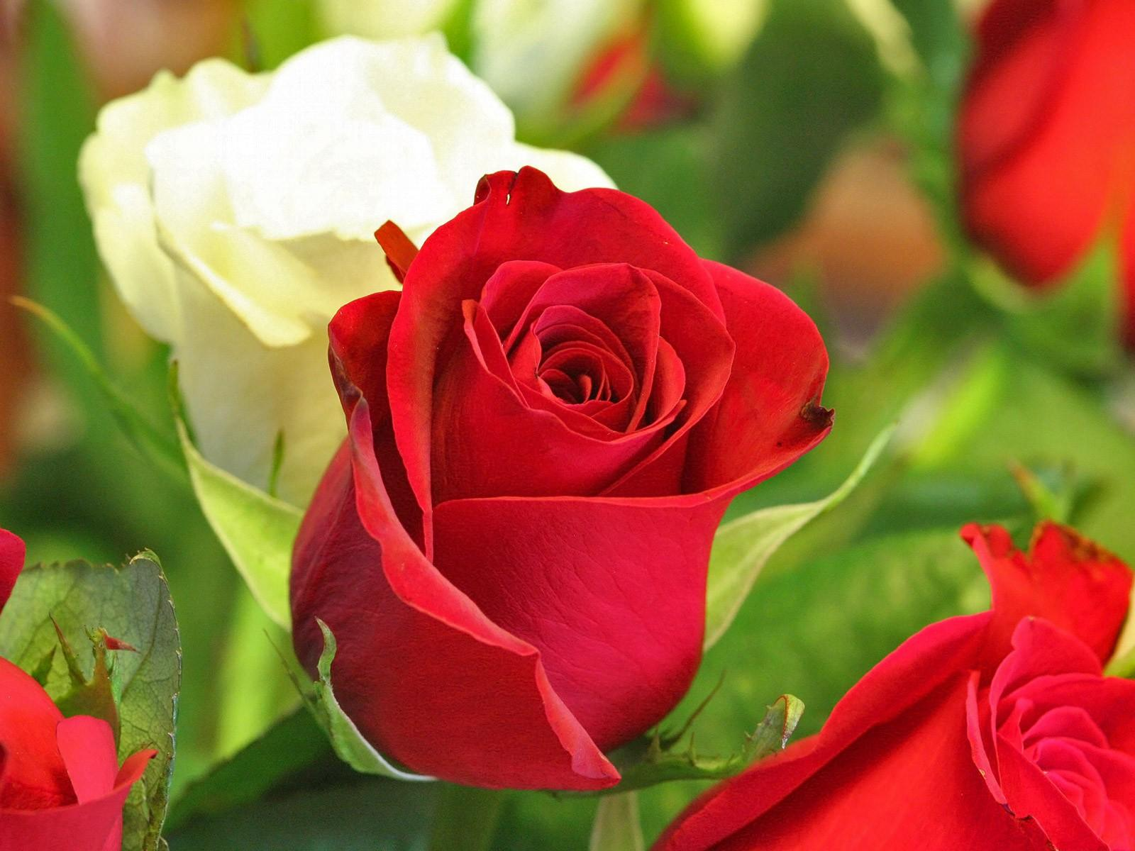 The Wallpapers Hot Point: Beautiful Rose Flowers
