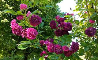 Der Zauberbusch - Rosen - Rätsel