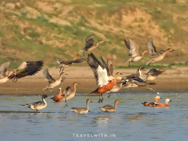 migratory birds in chambal