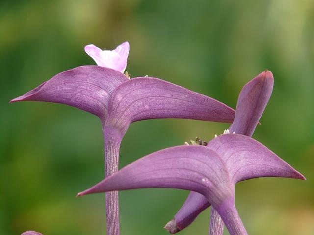 purple heart plant