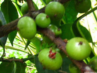 Batuan fruit images wallpaper