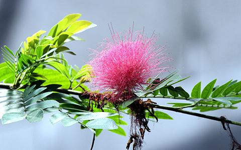 Small trees for tiny yards calliandra haematocephala