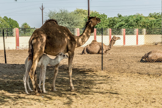 A tryst with Royalty - Bikaner and Jaisalmer - Day 1 - Camel Research Farm , Royal Cenotaphs