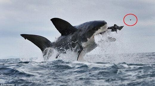 바다의 폭군 백상아리의 크기 체감