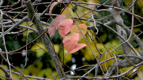 A few amber colored plum leaves amidst bare branches