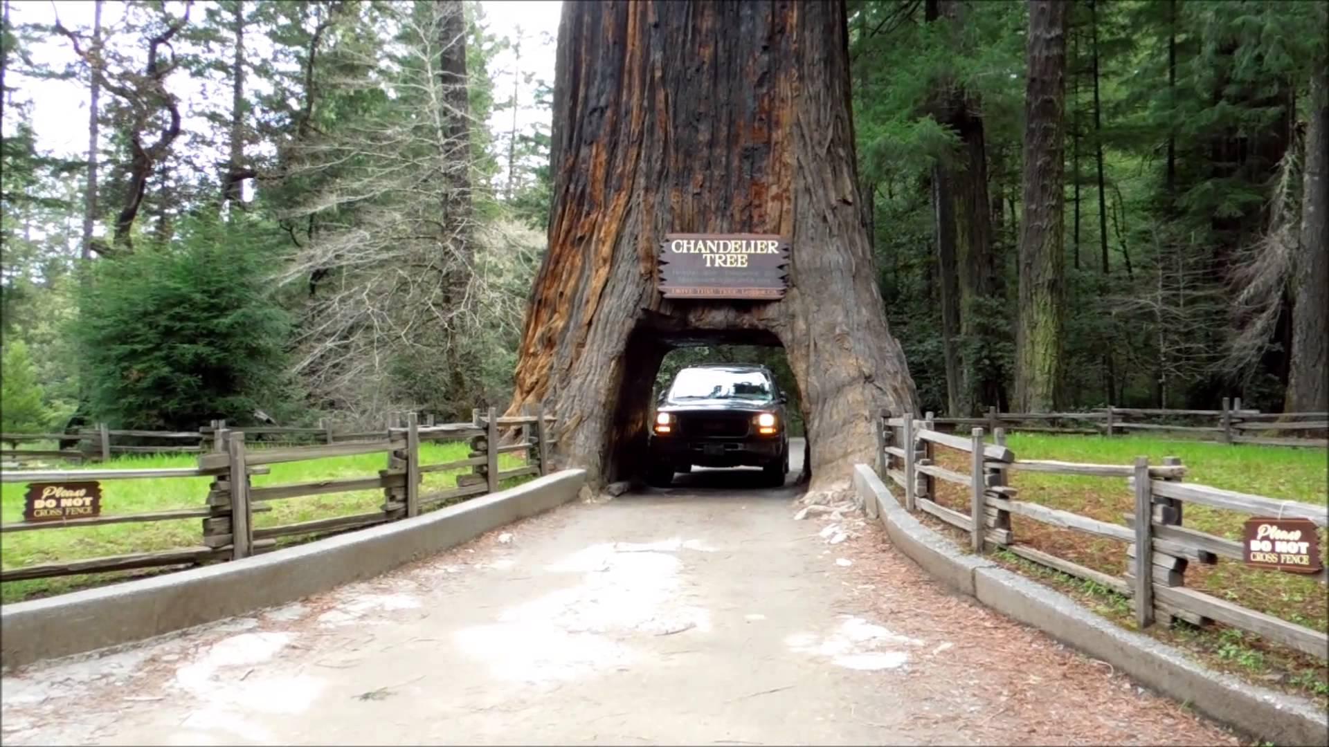 Дорога к святилищу - через дерево, авеню гигантов, США
