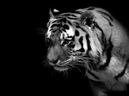Foto Harimau Latar Belakang Gelap