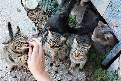 kucing diberi makan