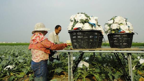 颱風璨樹逼近 台中農業改良場提供農民作物防颱措施