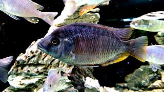 Best Cichlid Fish Wallpaper