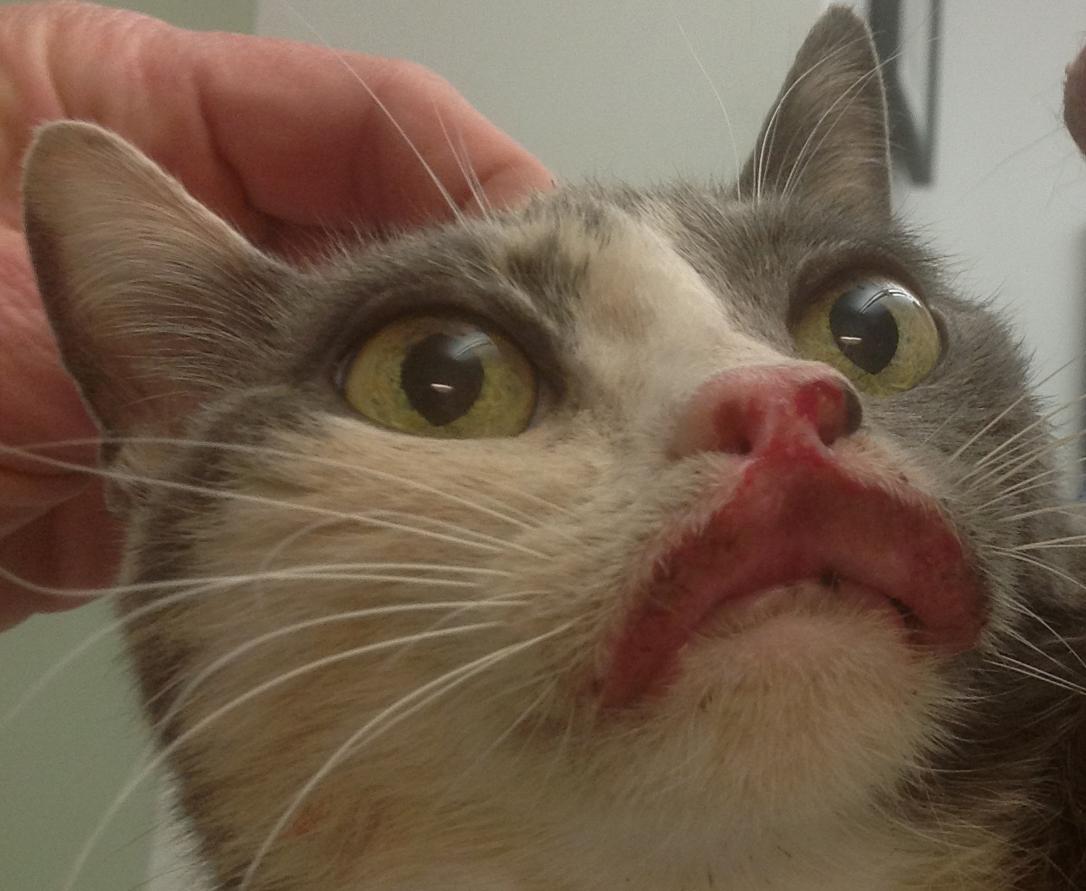Cat Man Do | Dr. Arnold Plotnick: Eosinophilic Granuloma ...