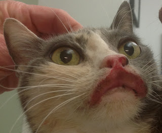 Eosinophilic Granuloma Complex In Cats Part 3