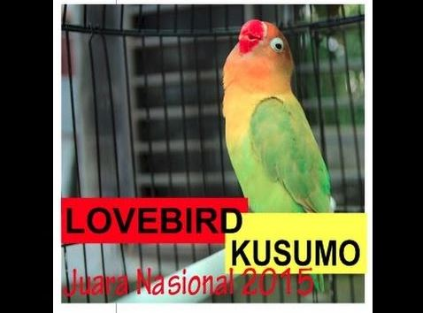 Perawatan Lovebird Kusumo