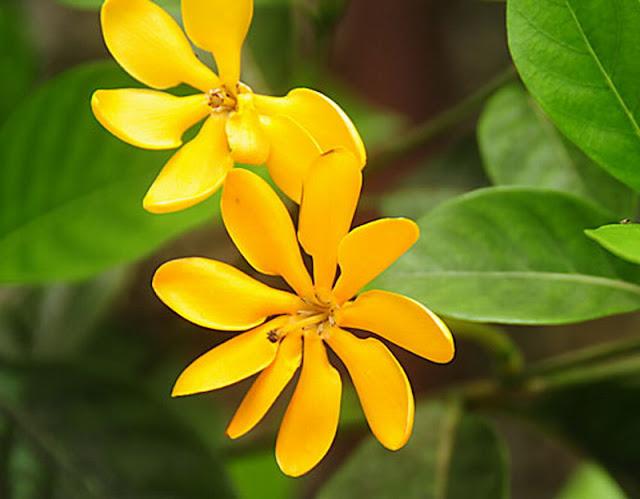 bunga cempaka hutan kasar