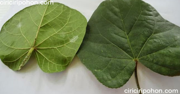 ciri ciri pohon daun waru