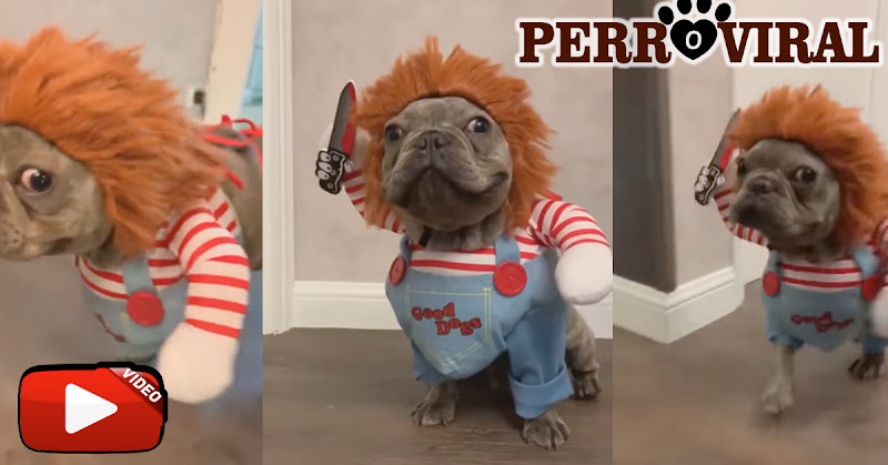 El disfraz de Halloween de este perro que ha impactado a todo el mundo