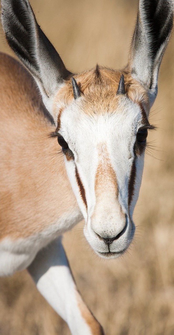 Portrait of a young springbok.
