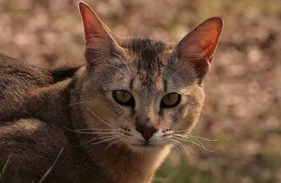 Karakter Kucing Chausie