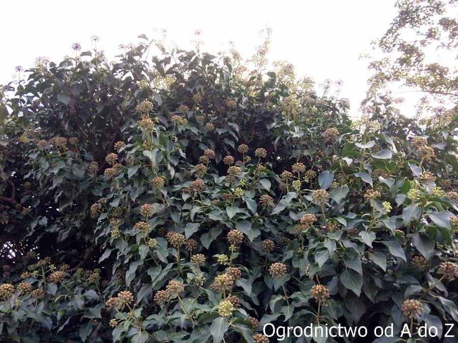 Hedera helix w okresie kwitnienia