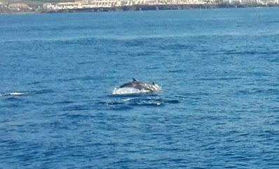 Streifendelfin im Atlantik