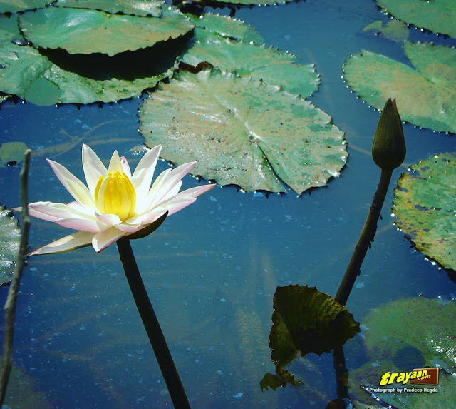 A beautiful white water lily and a bud