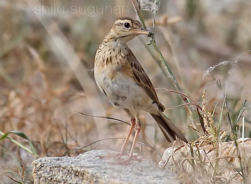 Cranium Bolts: Yet another birding trip to Hoskote
