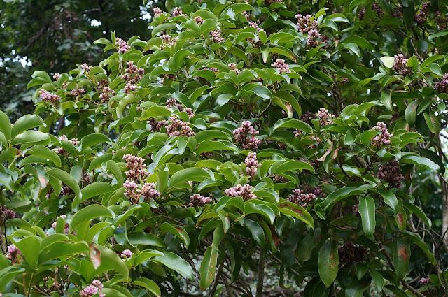 Tonka%2Bbean%2Btree%2Bin%2Bflower.jpg