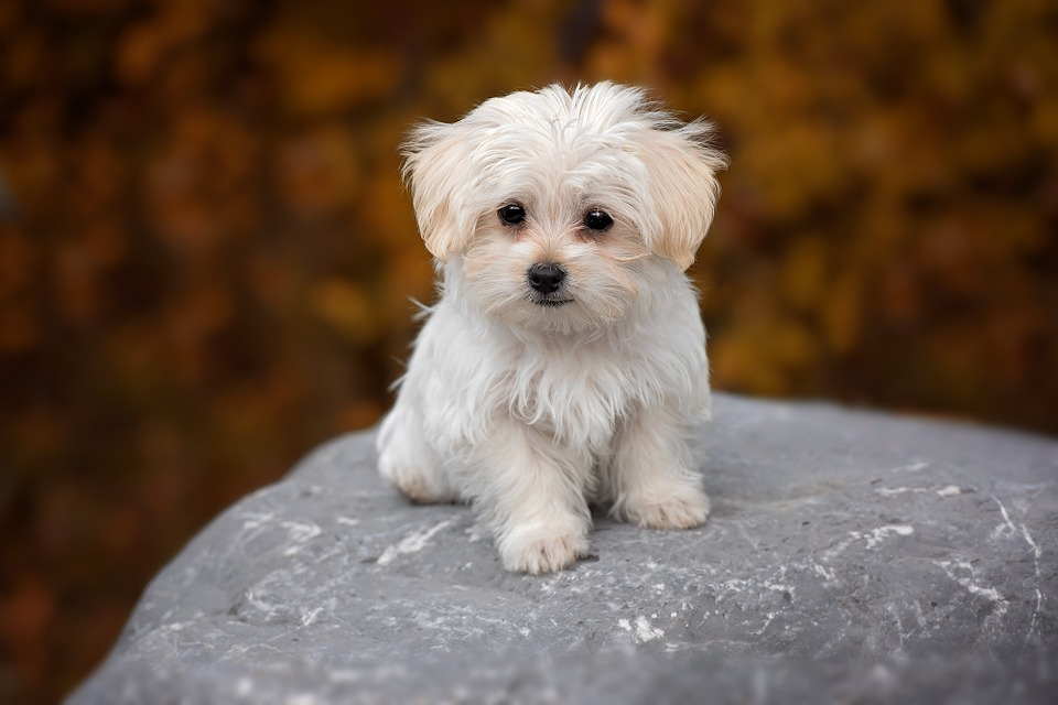 Top 10 Small Breed Dogs India You Will