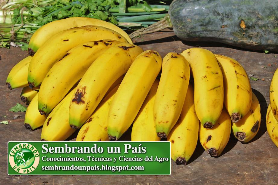 bananas o cambures con maduración completa