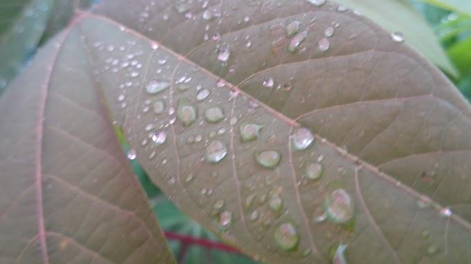 Tetesan Air Hujan Di Atas Daun Singkong