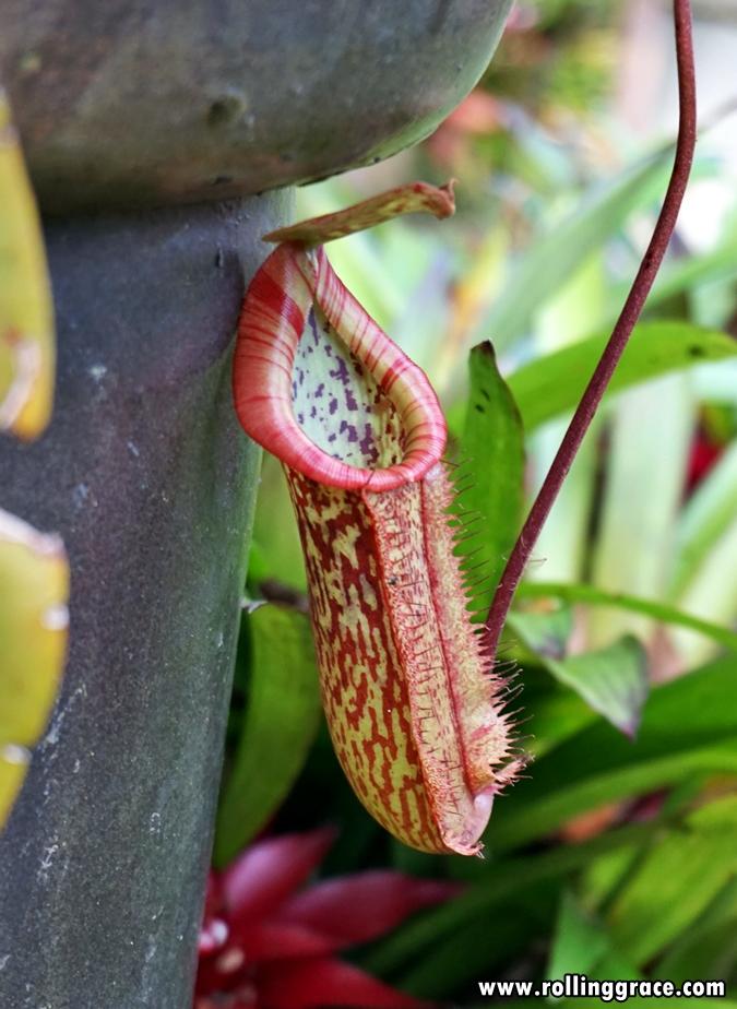 Nepenthes Burdidgeae