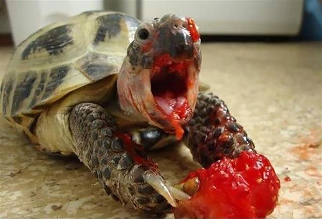 No hay nada mas aterrador que una tortuga comiendo fresas, aquí unas pequeñas muestras de ello