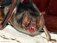 Os morcegos são os únicos mamíferos capazes de voar, com sua aparência nada amistosa e seus hábitos noturnos, abrigando-se em cavernas sombrias e, portanto, raramente sendo vistos, eles surgem nas sombras e somem na escuridão, causando medo em muitos.