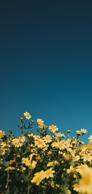 Yellow flowers in the blue sky