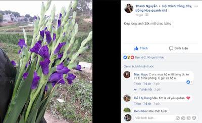 hoa lay ơn đen nhung