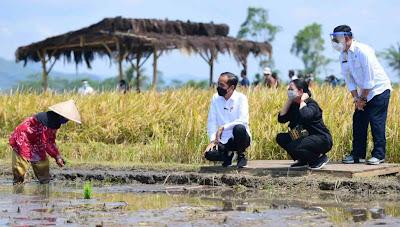 Tinjau Panen dan Tanam Padi di Malang, Presiden Ingin Pastikan Produksi Padi Mencukupi Kebutuhan Rakyat