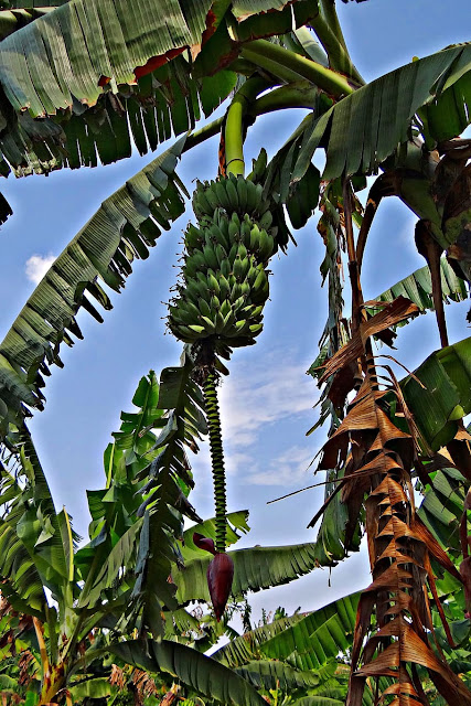 केळी चे पान/ Banabanana tree/banana leaf
