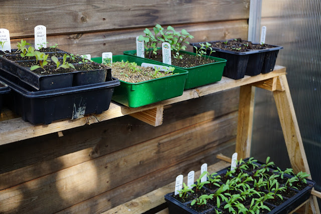 lettuces, beetroots, chard, celery etc out in the greenhouse - a stubborn optimist blog - C. Gault 2020