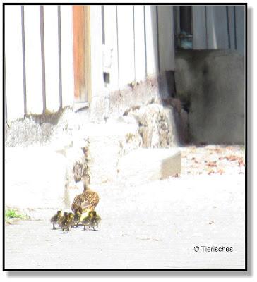 Enten im Dorf